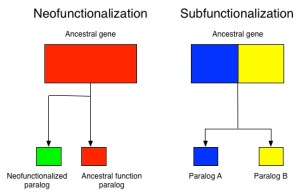 Neo- and subfunctionalization